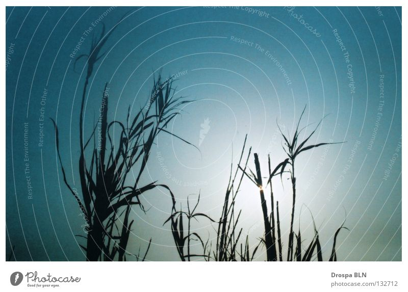 grass whispering Grass Summer Back-light Sky Blue Sun Beautiful weather Silhouette sunny