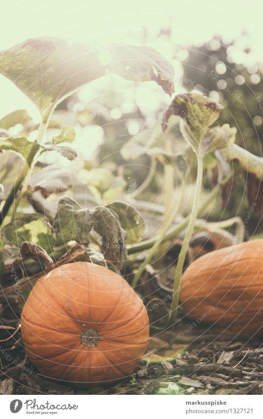 pumpkin Food Vegetable Pumpkin Pumpkin time Pumpkin plants Pumpkin seed Pumpkin field Nutrition Organic produce Vegetarian diet Diet Fasting Elegant