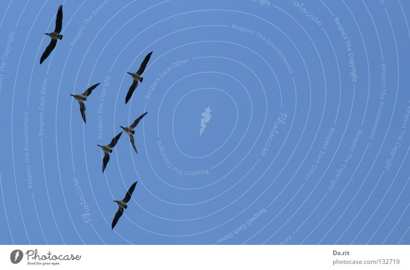 freedom Canadian goose Goose Bird Blue sky Together Society Formation Trust Transience 6 Canada geese Beautiful weather high up Flying fly Aviation Freedom