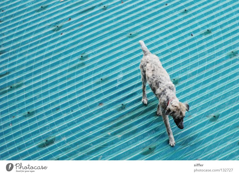 Blue Summer Vacation & Travel Animal Gray Dog Line Roof Asia Feces Turquoise Diagonal Beautiful weather Mammal Tin Corrugated sheet iron