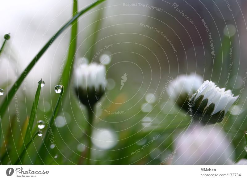 WAKE UP, WAKE UP! Morning Dew Meadow Grass Blade of grass Plant Damp Wet Life Flower Daisy Closed Wake up Spring Blur Light Photosynthesis
