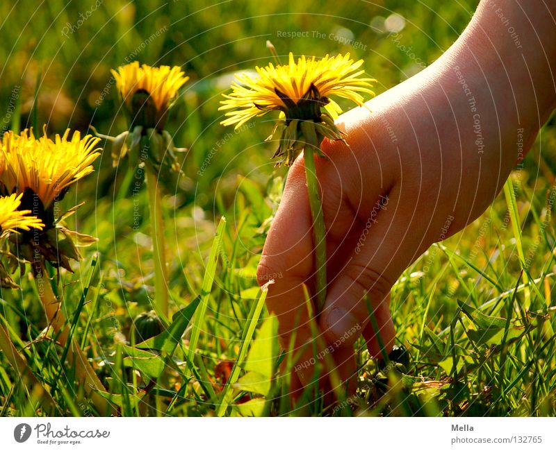 Nature Hand Flower Green Plant Yellow Meadow Blossom Spring Happy Environment Happiness Joie de vivre (Vitality) Natural Infancy Blossoming