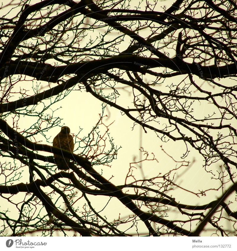 buzzard spring Environment Nature Animal Tree Twigs and branches Bird Hawk Common buzzard 1 Sit Natural Gray Colour photo Exterior shot Day Silhouette Deserted