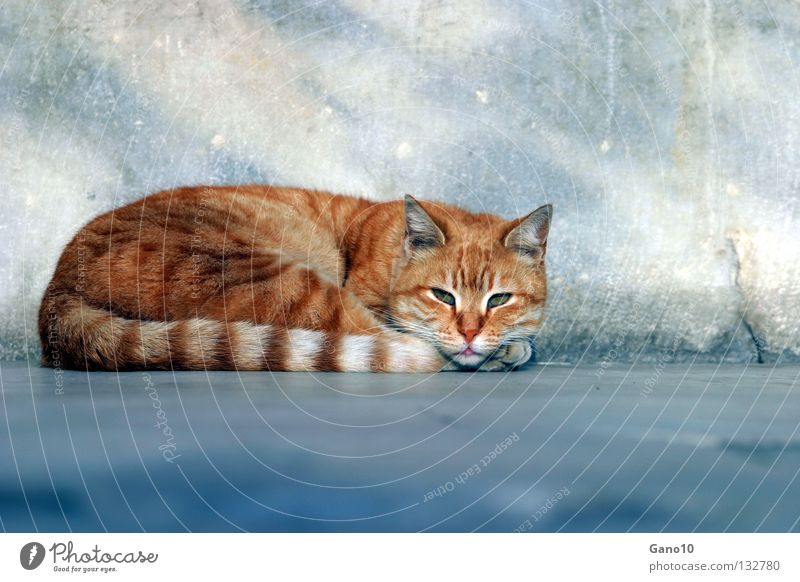 Beautiful Calm Loneliness Relaxation Cat Contentment Orange Dangerous Threat Stripe Pelt Fatigue Mammal Paw Tails Red-haired