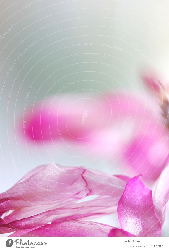 Flower Blossom Pink Background picture Rose Delicate Blossoming Smooth Fragile Girlish Fleeting Christmas cactus
