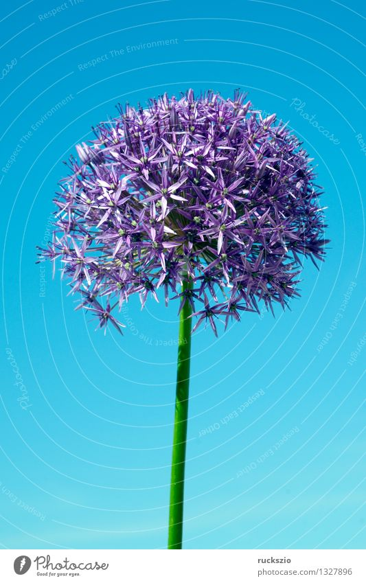 Nature Blue Plant Blossom Background picture Free Blossoming Violet Asia Still Life Object photography Bulb Onion Neutral Leek Flowerbed