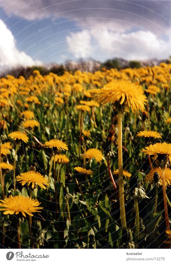 dandelion meadow Meadow Dandelion Flower Clouds Sky