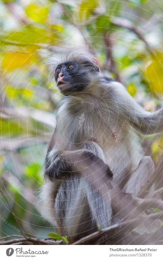 Whaaaat Animal 1 Brown Gray Green Black Silver White Monkeys Tree Climbing Nerviness Looking Hair and hairstyles Pelt Sit Ready Leaf Mother Face Colour photo