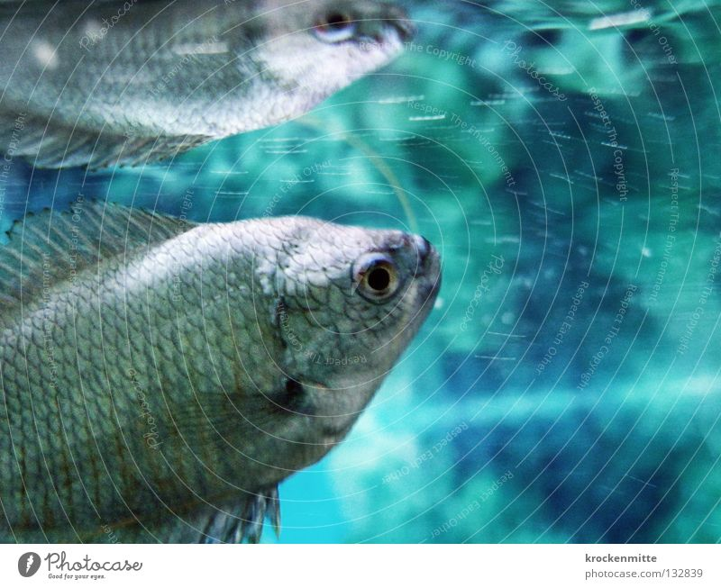 Water Blue Fish Dive Aquarium Agree Barn Mirror image Water wings Doppelganger Surface of water Gill