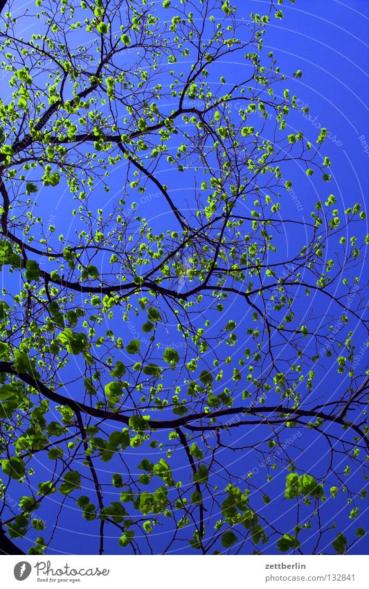 Sky Tree Plant Spring Blossom Growth Branch Twig Bud Sky blue Spring fever Sprout Maturing time Celestial green