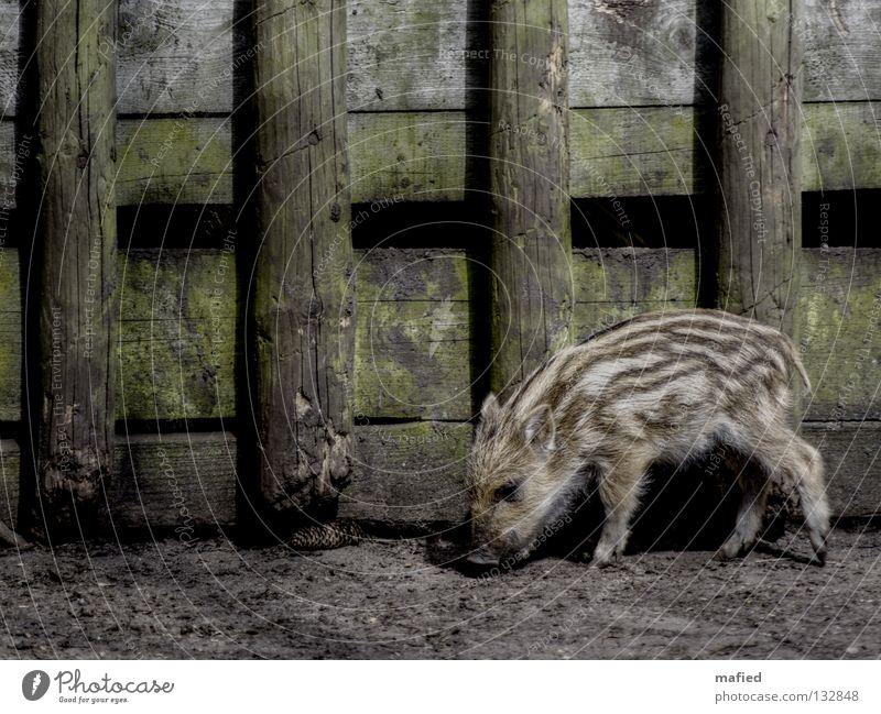 newbie Young boar Piglet Wild boar Grunt Cute Stripe Striped Pelt Gray Brown Black Green Wood Scrabble about Peace Game park Feeding To feed Mammal Odor Earth
