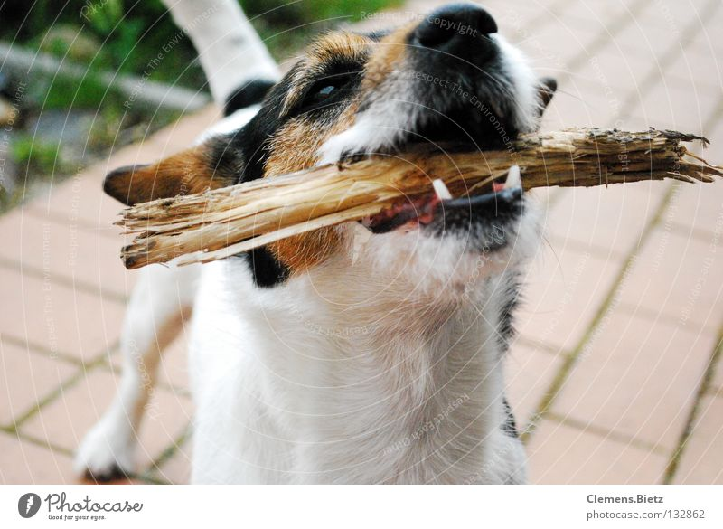 Go throw the stick Stick Tree Dog Animal Meadow Mammal toss sticks Floor covering jack russel Set of teeth Wood snort Bushes