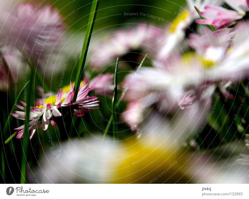 muddle Daisy Flower Plant Meadow Green Spring Summer Blossom Grass Blur White Background picture Nature Lovely Delicate Soft Worm's-eye view Small Growth Pink