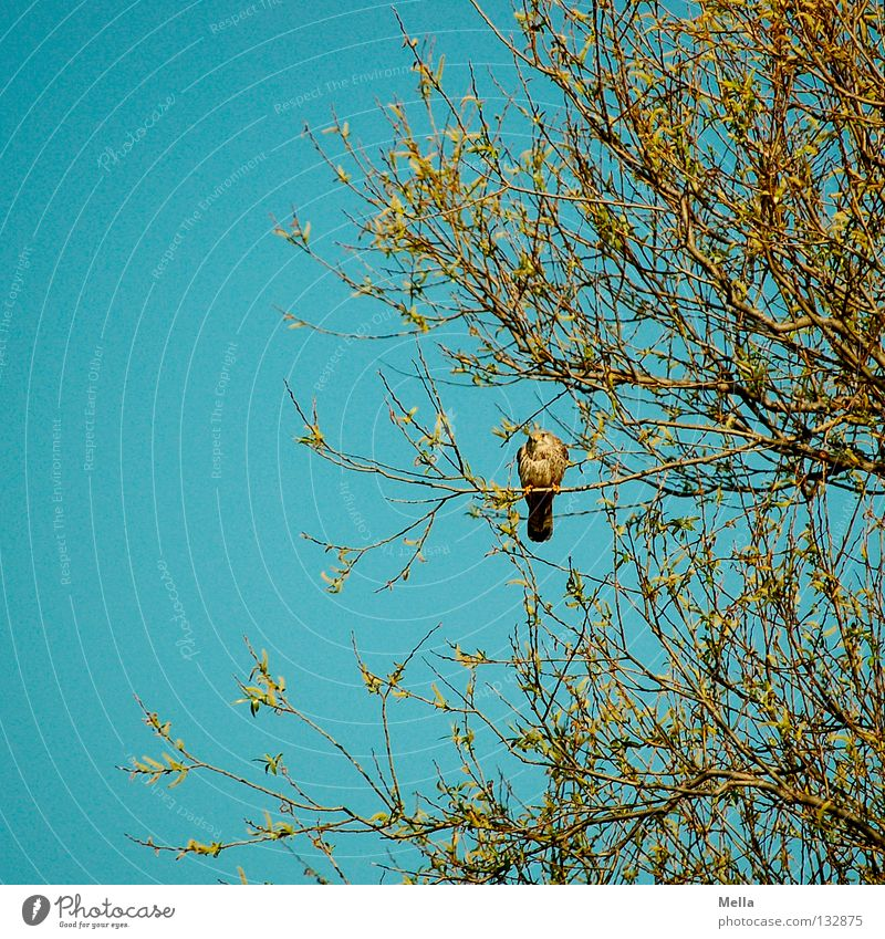 Falcon Spring III Environment Nature Plant Animal Tree Bird Kestrel 1 Crouch Sit Natural Blue Loneliness Colour photo Exterior shot Deserted Day Looking
