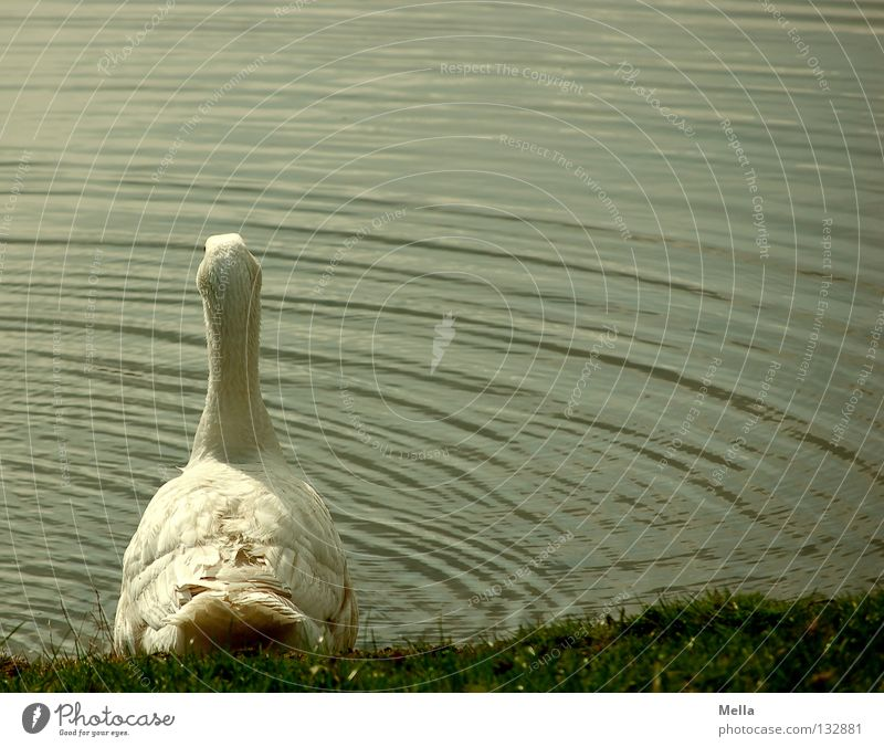Should I or shouldn't I? Goose Lake Pond Waves White Green Farm Ecological Idyll Rural Adequate Environment Meadow Free-roaming Bird Water Organic farming