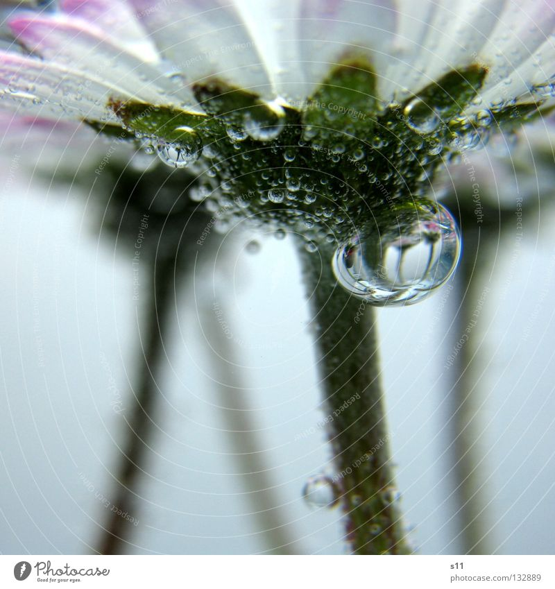 Mirror In Water Underwater photo Above water Easy Fine Flower Blossom Plant Meadow Meadow flower Daisy Water blister Air bubble Stick Worm's-eye view