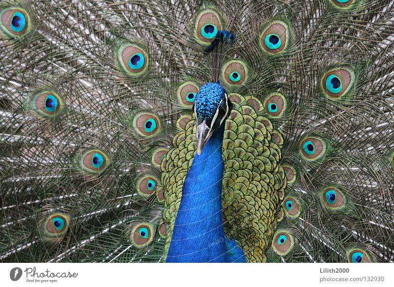dandy Peacock Conceited Green Multicoloured Bird Rutting season Beak Zoo Animal Beautiful Feather Blue Colour Neck Peacock feather