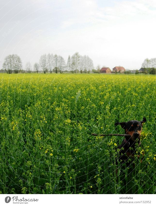 spring fever Dog Canola Field Canola field Horizon Sky Stick Jump Green Blossoming Spring Playing Romp Retrieve Movement Renewable energy Electricity Joy Tree
