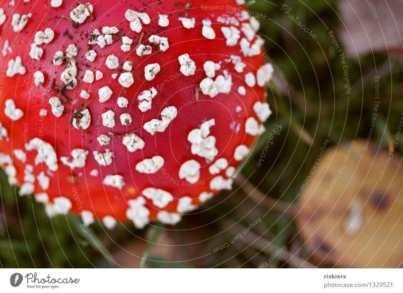 lucky devil Environment Nature Plant Autumn Mushroom Amanita mushroom Forest Illuminate Growth Esthetic Fresh Red Happy Beautiful Idyll Colour photo