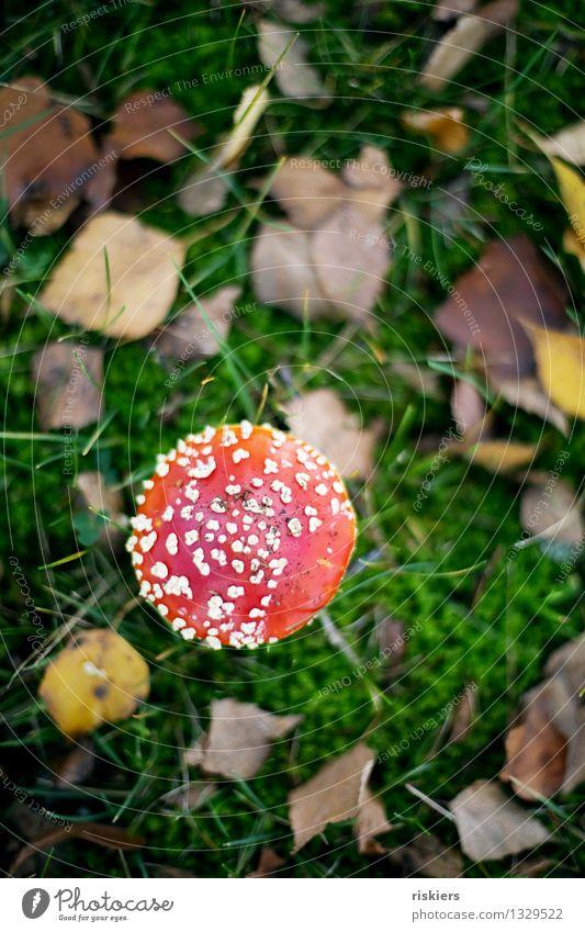 Lucky devil ii Environment Nature Plant Autumn Amanita mushroom Mushroom Forest Illuminate Growth Esthetic Happiness Fresh Beautiful Red Idyll Colour photo