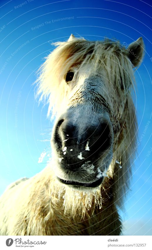 island horse Horse Icelander Iceland Pony Cold White Mammal frog's perspective Snow Blue Sky