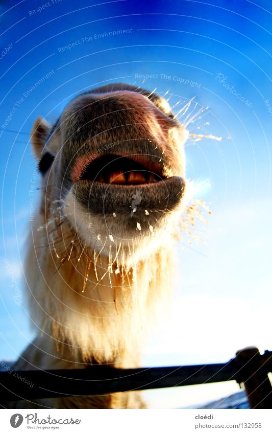 island horse Horse Icelander Iceland Pony Cold White Camel Mammal frog's perspective Snow Blue Sky Funny Muzzle