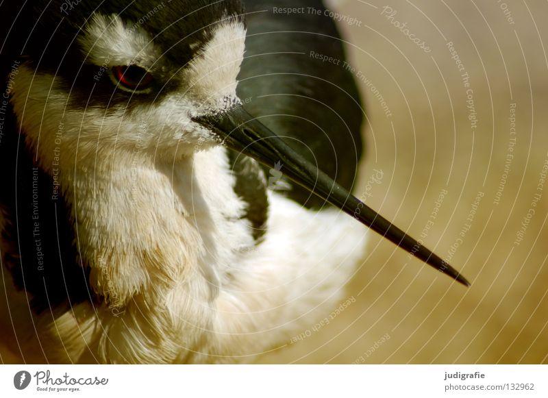 Nature White Black Animal Colour Eyes Life Environment Bird Feather Beak Migratory bird Black-winged stilt Avocet