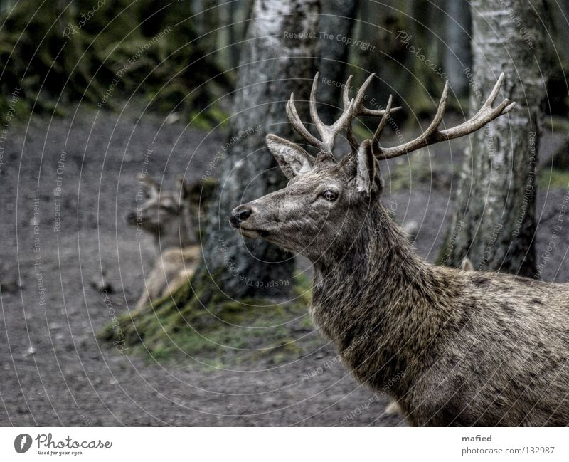 red deer Deer Red deer Game park Antlers Forest Gray Brown Silhouette Peace Superior Pack Watchfulness Impressive Mammal Profile Be confident Looking