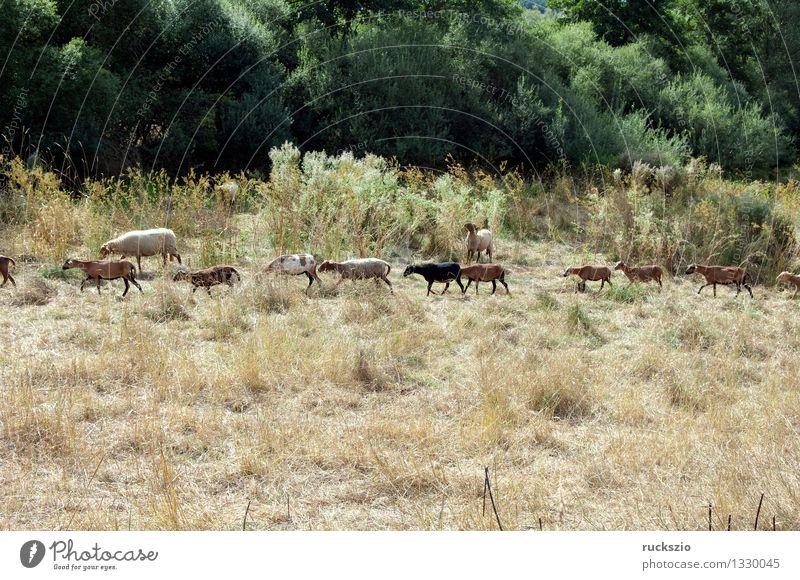 Animal Meadow Small Dangerous Threat Farm Pet Mammal Sheep Farm animal Even-toed ungulate Ruminant Coburg West Africa