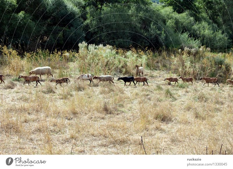 Coburger, fox sheep, camera sheep Animal Meadow Pet Farm animal Threat Small Dangerous Cameroon sheep Arche-Courtyard Coburger Fox breed of sheep domestic sheep
