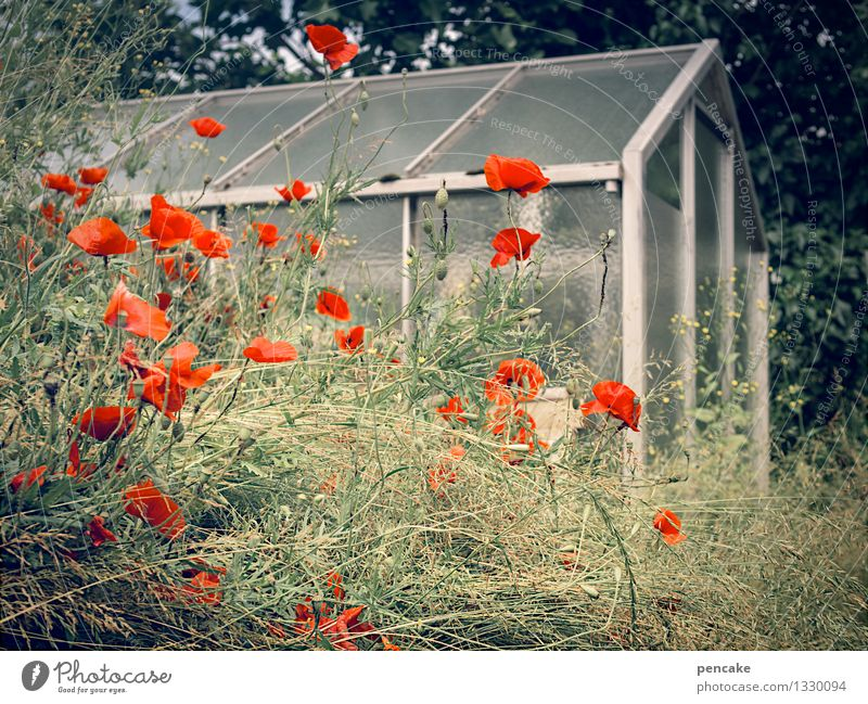 poppy day in the garden Nature Plant Garden House (Residential Structure) Authentic Uniqueness Warmth Feminine Idyll Poppy blossom Greenhouse Living or residing