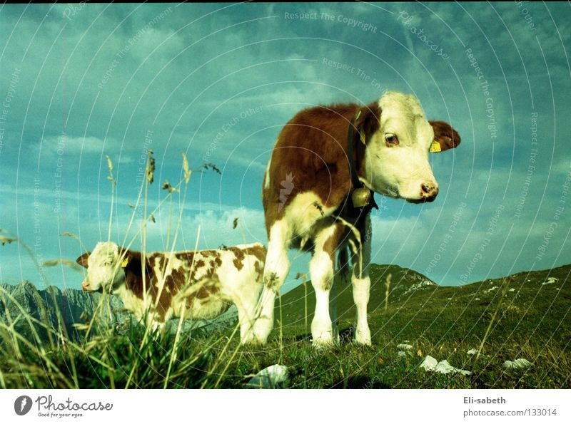 Nature Sky Green Summer Calm Animal Meadow Grass Mountain Freedom Happy Cow Pasture Alpine pasture Juicy Calf