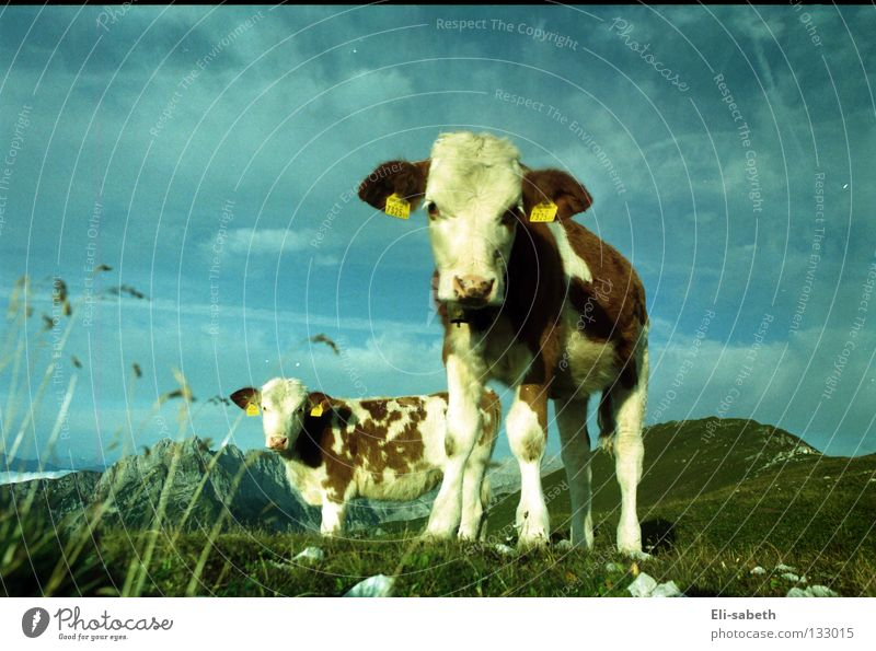 Nature Sky Green Summer Calm Animal Meadow Grass Mountain Freedom Happy Cow Pasture Alpine pasture Juicy Innocent