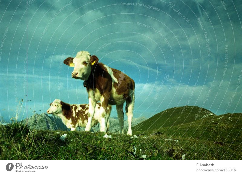 moo Green Meadow Alpine pasture Calm Cow Animal Calf Grass Juicy Summer Exterior shot Wide angle Far-off places Mammal Mountain Power Force Sky Nature Pasture