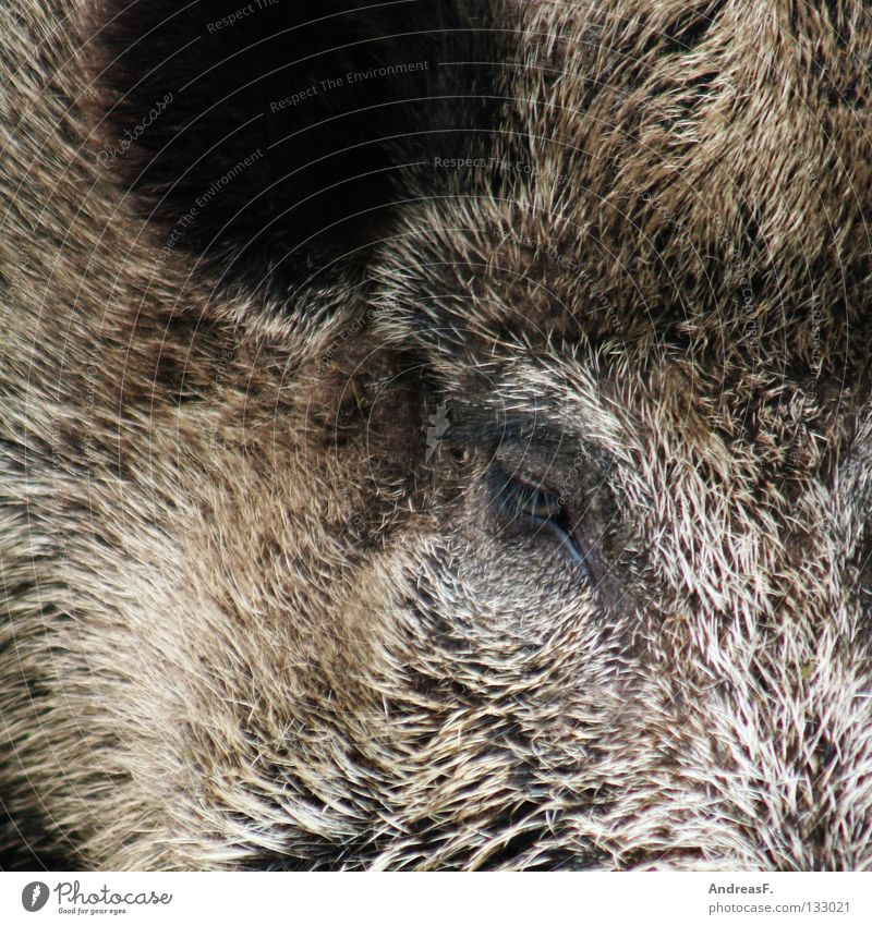 mess Sow Swine Wilderness Wild boar Boar Swinishness Butcher Hunter Animal Pelt Bristles Listening Pig head Mammal Facial hair Wild animal Hunting Nature