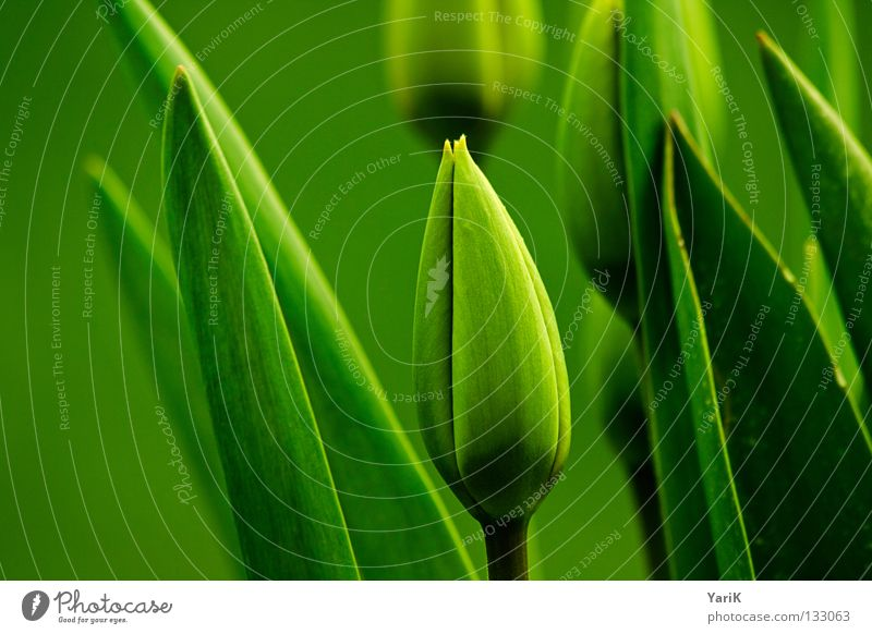 tone-in-tone Tulip Spring Juicy Green Hope Desire Summer Blossom Closed Wake up Leaf green Growth Sprout Flourish Style Design Macro (Extreme close-up) Meadow