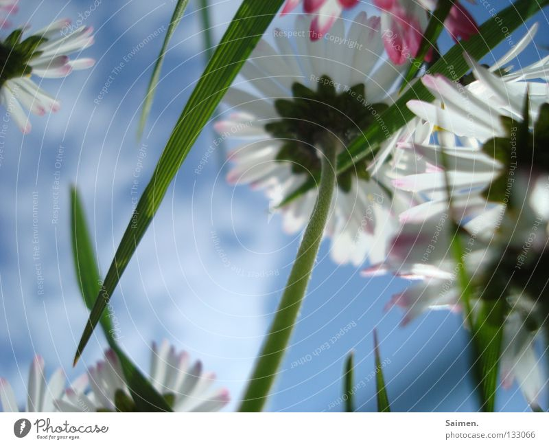 antidepressant Flower Small Worm's-eye view Grass Blade of grass Clouds Daisy Stalk Blossom leave Green White Pink Brilliant Juicy Spring Happiness Anticipation