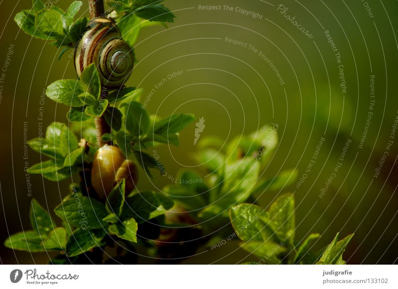 Living in the countryside Snail shell Air-breathing land snail Green Bushes Nutrition Plant Animal House (Residential Structure) Joint residence Colour
