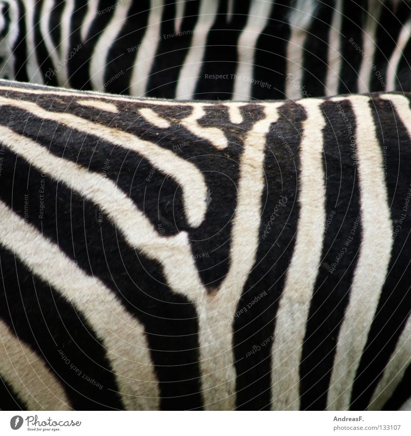 Beautiful White Black Animal Africa Stripe Pelt Zoo Mammal Striped Zebra Zebra crossing