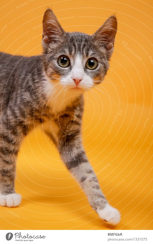 Cat Beautiful Animal Baby animal Emotions Funny Happy Gray Orange Cute Retro Curiosity Surprise Pet Domestic cat Paw