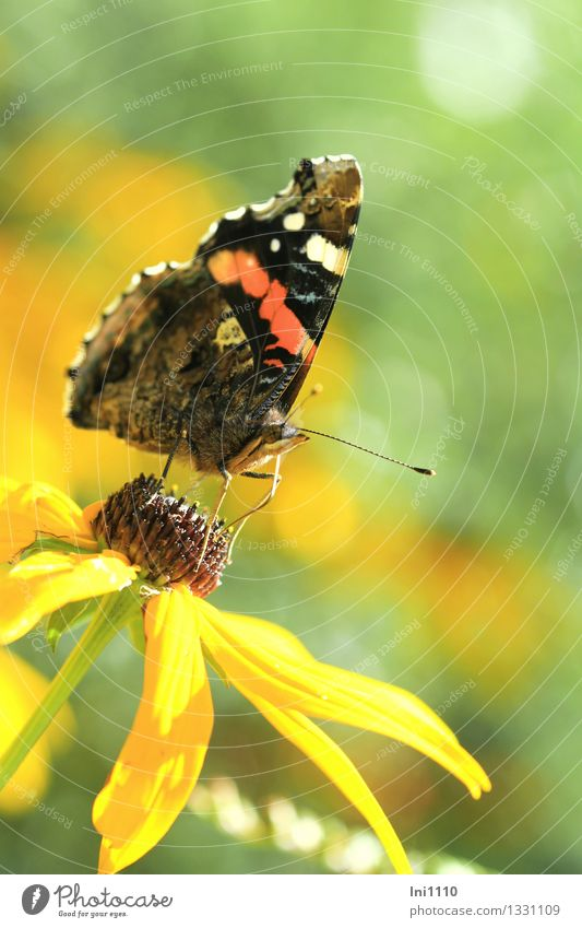 admiral Plant Animal Sunlight Summer Autumn Flower Blossom Garden Wild animal Butterfly Red admiral 1 To feed Exceptional Fantastic Beautiful Brown