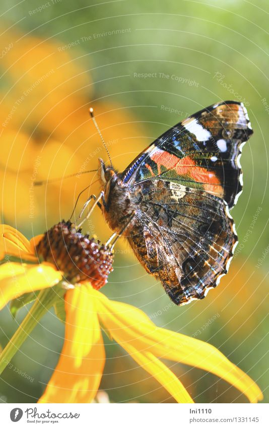 admiral Animal Summer Autumn Flower Blossom Garden Wild animal Butterfly Wing Red admiral 1 To feed Beautiful Blue Brown Multicoloured Yellow Gray Green Orange