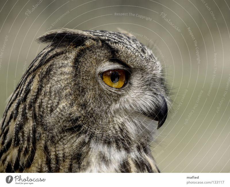 Calm Black Yellow Gray Owl birds Brown Orange Bird Soft Peace Feather Wild animal Hunting Smooth Smoothness