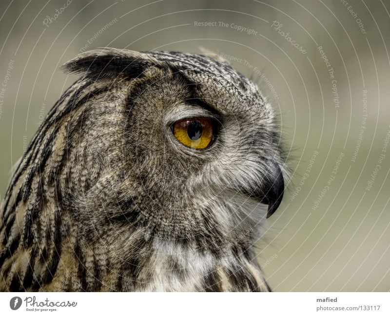 Eagle Owl II Eagle owl Hunter Bird of prey Calm Feather Sense of hearing Brown Gray Black Yellow Soft Smoothness Peace Game park Air show Silhouette