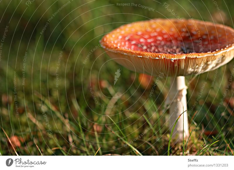 Not for the mushroom soup! Nature Autumn Grass Mushroom Amanita mushroom Mushroom cap Meadow Natural Beautiful Green Red Moody Sense of Autumn Mood lighting