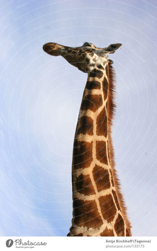 HALLOOOOOO ..... Who's there??????? Zoo Dortmund Animal Long Large Brown Beautiful Sweet Leisure and hobbies Africa Dappled Beige Exterior shot Mammal Giraffe