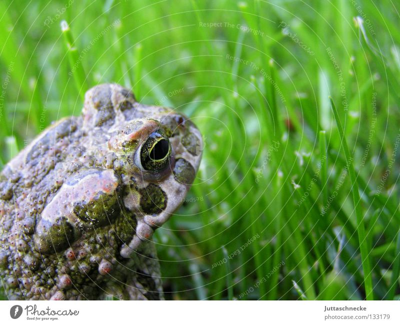 Frog King Grass Tadpole Green Quack Environmental protection Steadfast Sulk Pond Lake Europe Body of water Garden pond Habitat Toad Frog Prince Flee Walking Hop