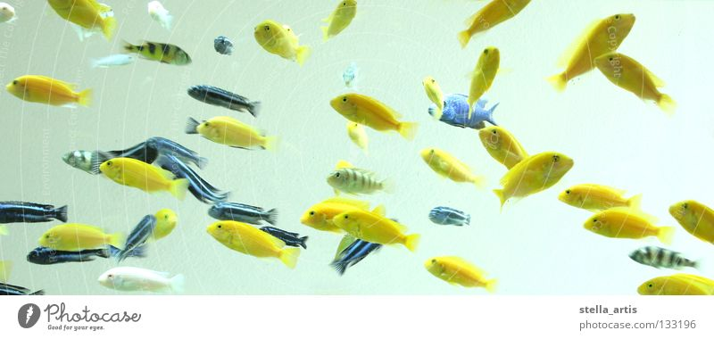 floating fish Yellow Black Aquarium Hover Relaxation Weightlessness Stripe Striped Fish Colour Water Blue Transparent Perches Flock