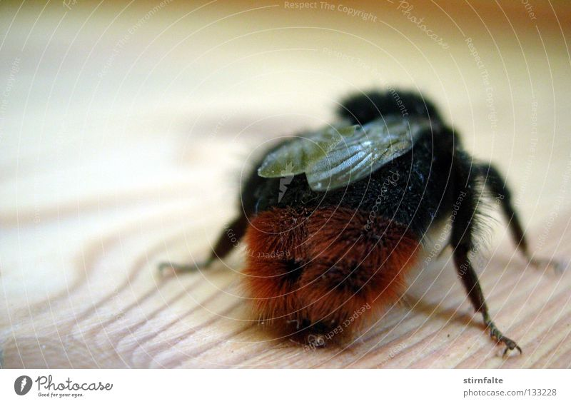 Summer Wood Legs Flying Floor covering Wing Hind quarters Near Insect Bee Crawl Monster Backwards Bumble bee Pierce