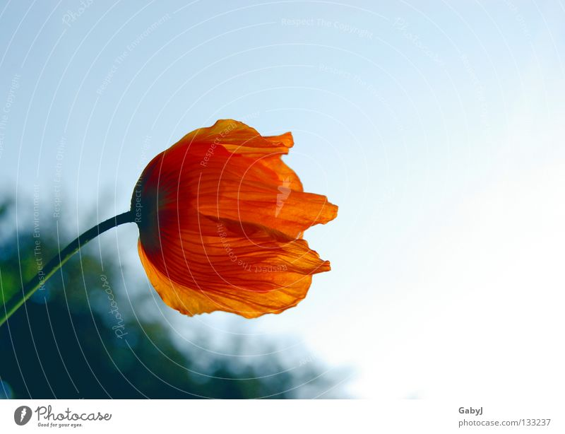 longing Iceland poppy Light Longing Site Dream Aspire Loneliness Past Grief Hope Blossom leave Looking away Fragile Delicate Illuminate Goodbye Sky Dusk Sun